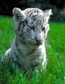 tigre_blanc.jpg