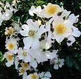 fleur_de_normandie_pour_toi.jpg
