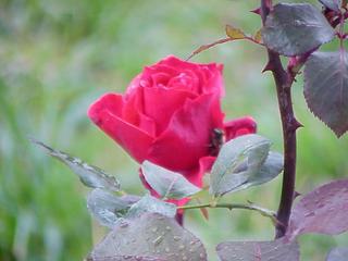 trandafir1.jpg
