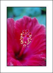 hibiscusWAAAAAOUUUUU.jpg